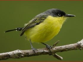 Common Tody-Flycatcher3