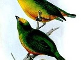 Olive-backed Euphonia3