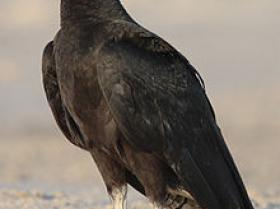 Black Vulture2