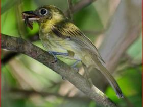 Eye-ringed Flatbill4