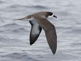 Galapagos Petrel3