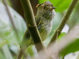 Scale-crested Pygmy-Tyrant3