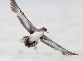Pink-footed Shearwater4