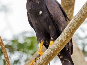 Common Black Hawk4