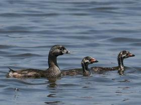 Pied-billed Grebe4
