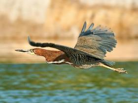 Rufescent Tiger-Heron2