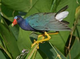 Purple Gallinule3
