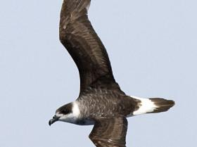 Black-capped Petrel4