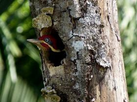 Lineated Woodpecker5