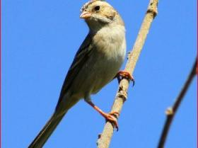 Clay-colored Sparrow3