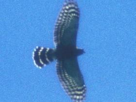 Double-toothed Kite4