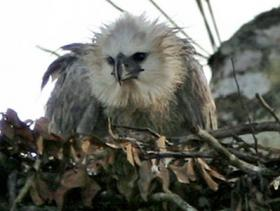 Harpy Eagle4