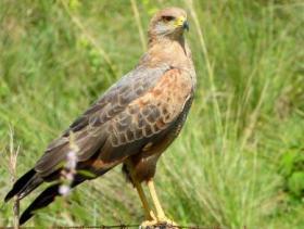 Savannah Hawk2