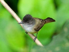 Dusky-capped Flycatcher3