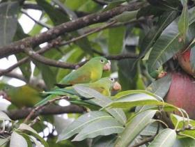 Orange-chinned Parakeet3