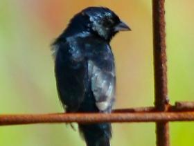 Blue-black Grassquit2
