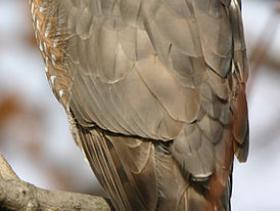 Coopers Hawk2