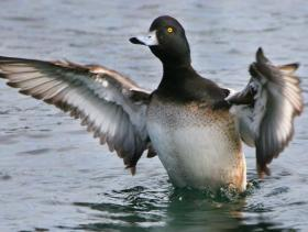 Greater Scaup3