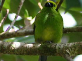 Emerald Tanager4