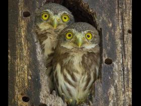 Ferruginous Pygmy-Owl4