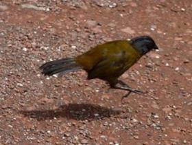 Large-footed Finch4