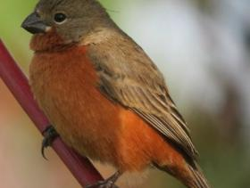 Ruddy-breasted Seedeater2