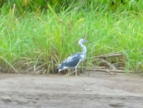 Little Blue Heron Immature