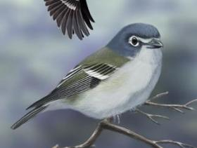 Blue-headed Vireo2