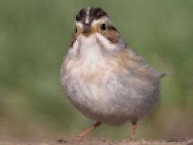 Clay-colored Sparrow2