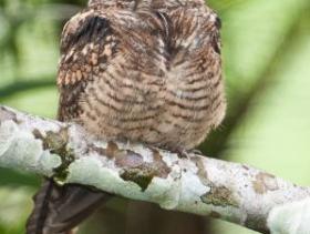 Lesser Nighthawk4