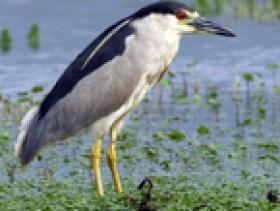 Black-crowned Night-Heron2