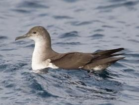 Black-vented Shearwater3