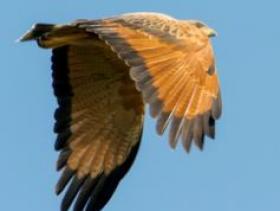 Savannah Hawk3