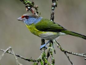 Rufous-browed Peppershrike2