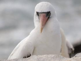 Masked Booby3