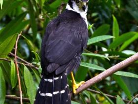 Collared Forest-Falcon2