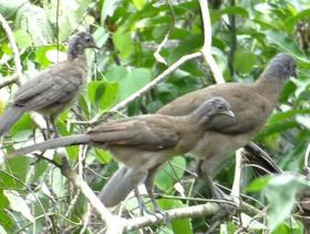 Gray-headed Chachalaca4