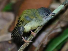 Black-capped Pygmy-Tyrant3