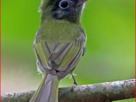 Eye-ringed Flatbill3