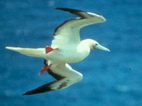 Red-footed Booby2