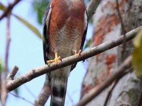 Double-toothed Kite2