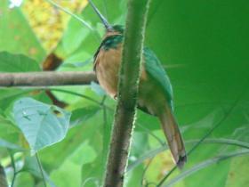 Rufous-tailed Jacamar3
