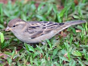 House Sparrow4