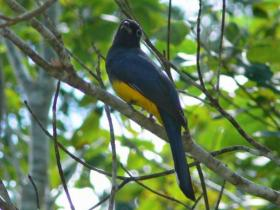 Black-headed Trogon4