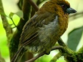 Prong-billed Barbet4