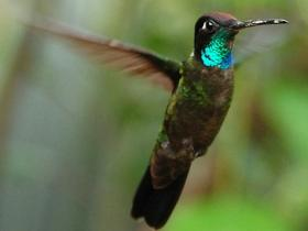 Magnificent Hummingbird2