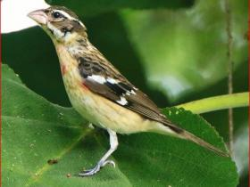Rose-breasted Grosbeak4