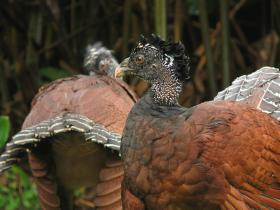 Great Curassow female2