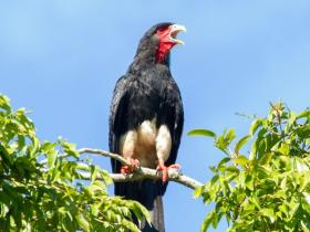 Red-throated Caracara2