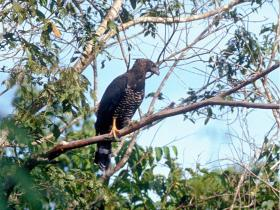 Crested Eagle2